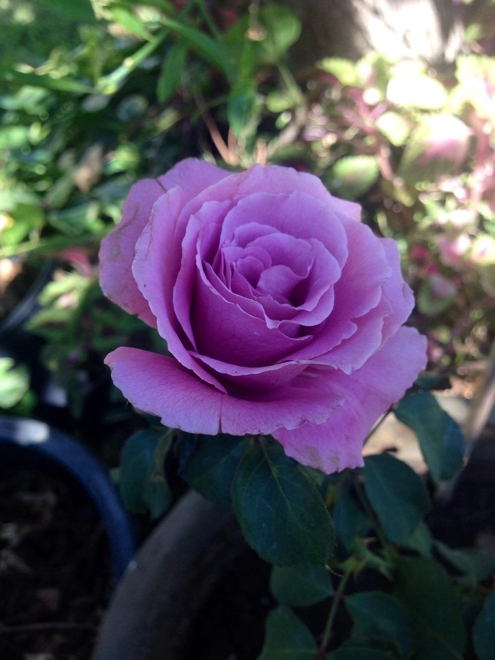Photo Of The Bloom Of Rose Rosa Angel Face Posted By