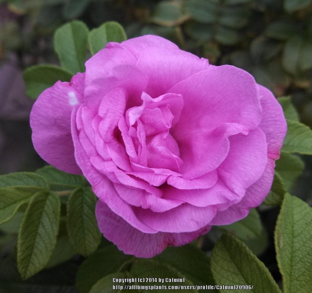 Photo of Rose (Rosa 'Moje Hammarberg') uploaded by Catmint20906