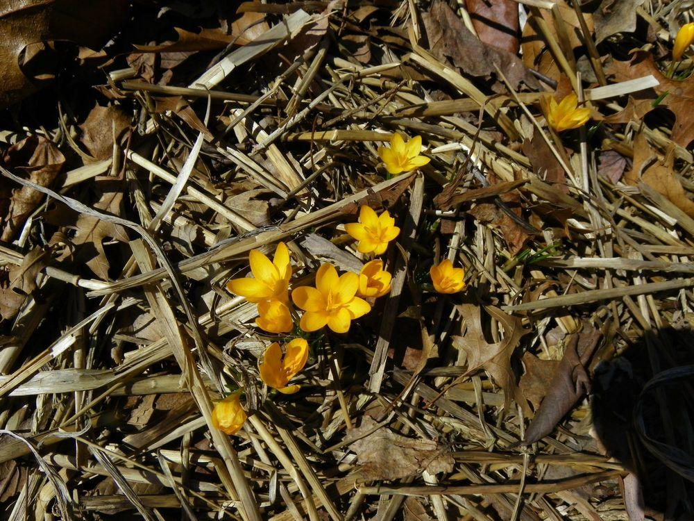 Photo of Crocus (Crocus ancyrensis 'Golden Bunch') uploaded by Newyorkrita