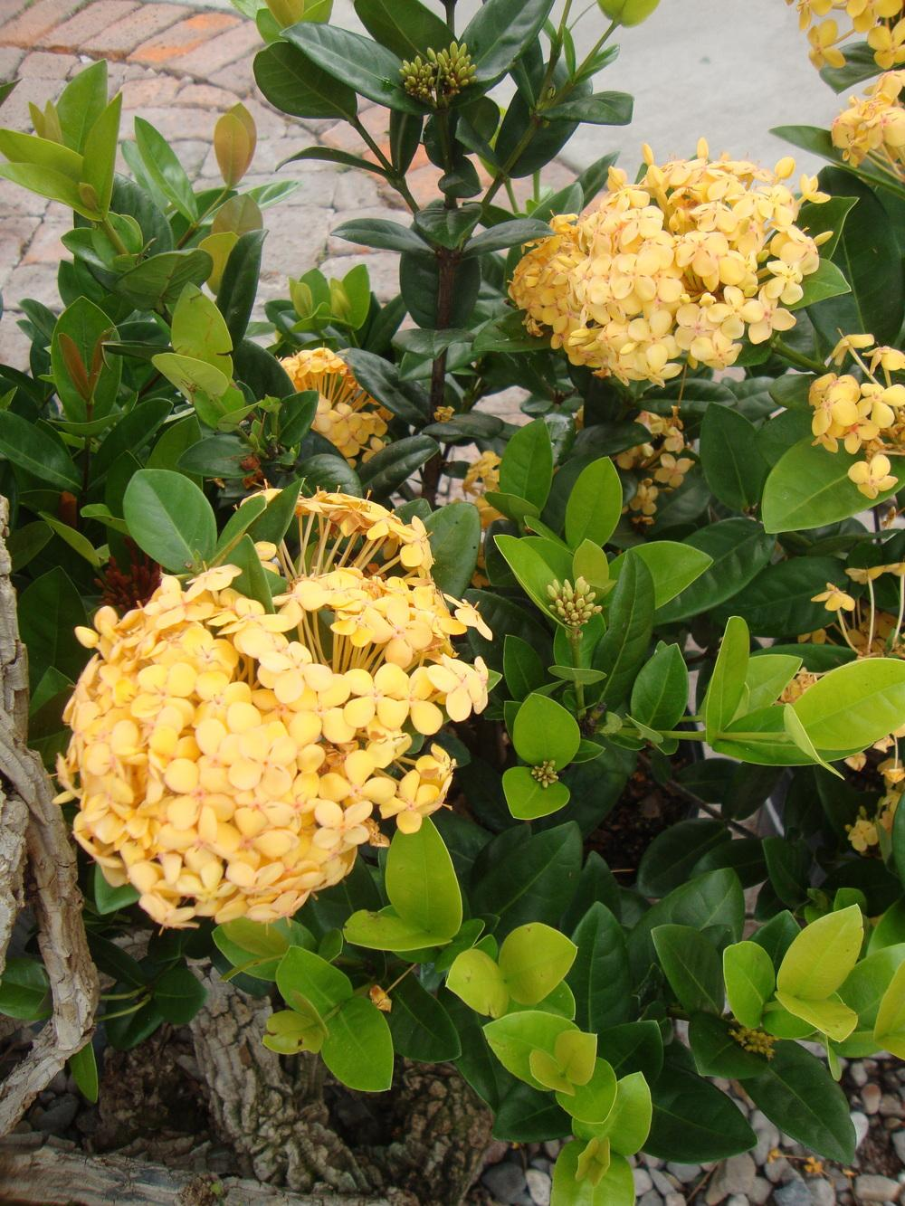 Photo of Flame of the Woods (Ixora coccinea 'Maui Yellow') uploaded by Paul2032