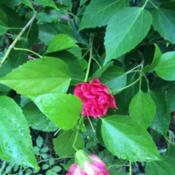 Location: mom's garden; Date: 2014-08-26double red