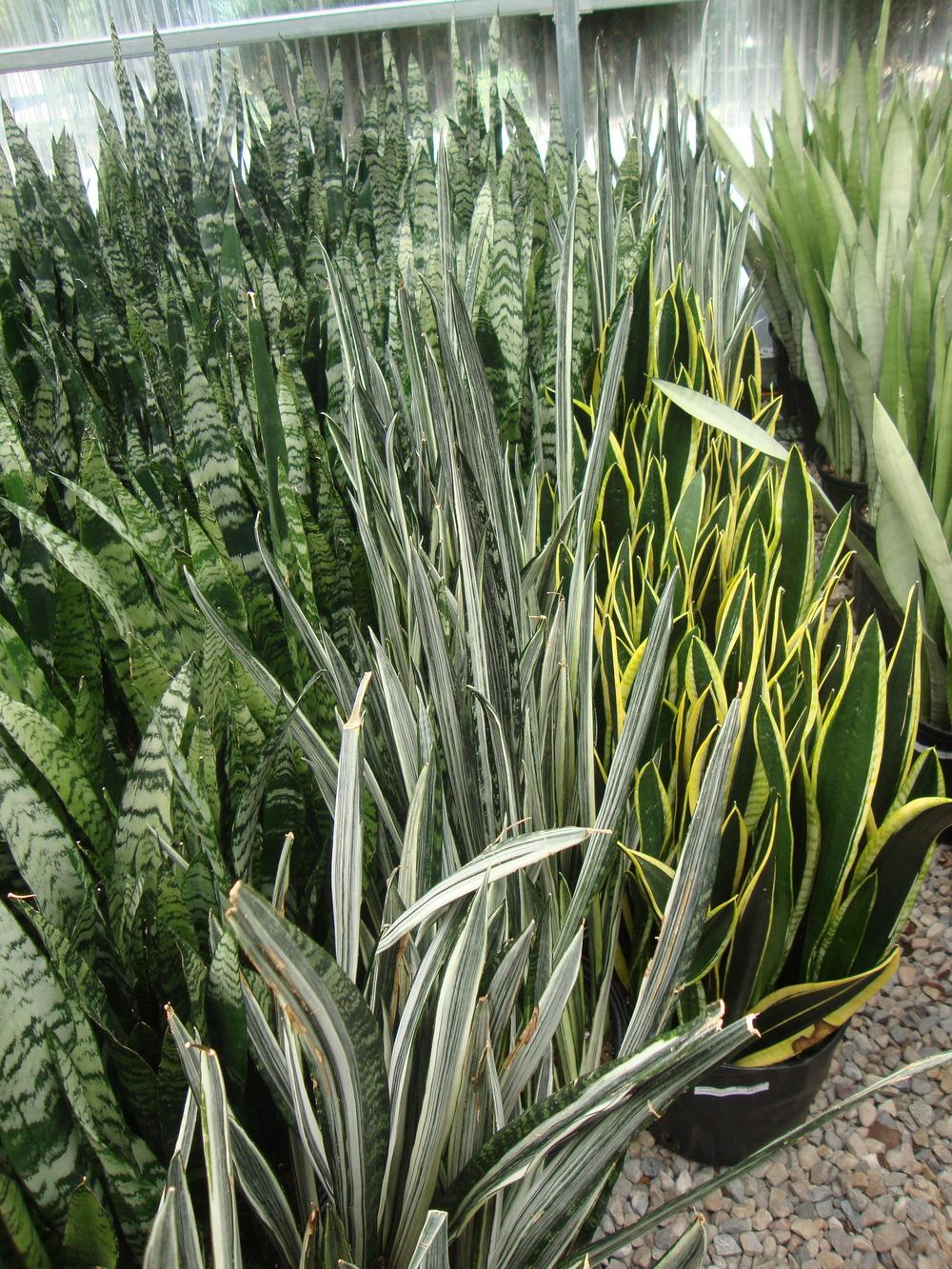 Photo of Snake Plants (Sansevieria) uploaded by Paul2032