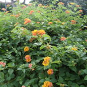 Location: Kapaa (Kauai), Hawaii at Pono Kai Resort Date: 01-16-2014Yellow and pink Lantana Camaras