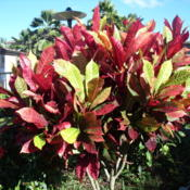 Location: Kapaa (Kauai), Hawaii at Pono Kai Resort Date: 01-15-2014Rainbow Croton, I'd love to have one of these in my bac