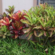Location: Kapaa (Kauai), Hawaii at Pono Kai Resort Date: 01-16-2014Short Rainbow Crotons