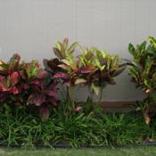 Location: Kapaa (Kauai), Hawaii at Pono Kai Resort Date: 01-16-2014Rainbow Crotons
