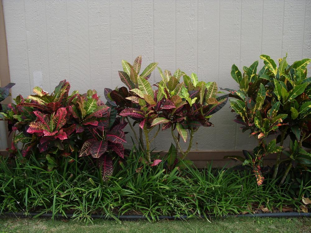 Photo of Crotons (Codiaeum) uploaded by Shawwannda