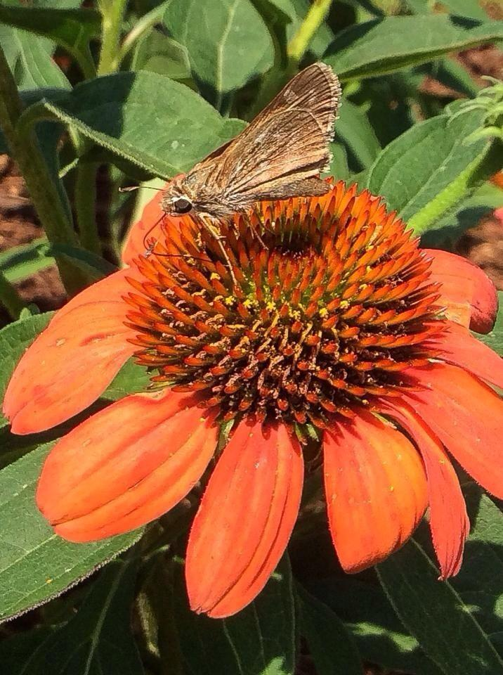 Photo of Coneflower (Echinacea Sombrero® Flamenco Orange) uploaded by clintbrown