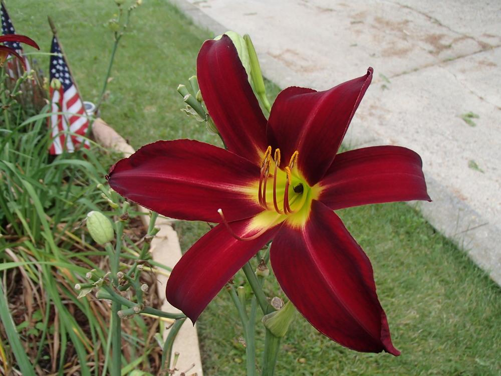 daylilies how to get a daylily to rebloom in autumn