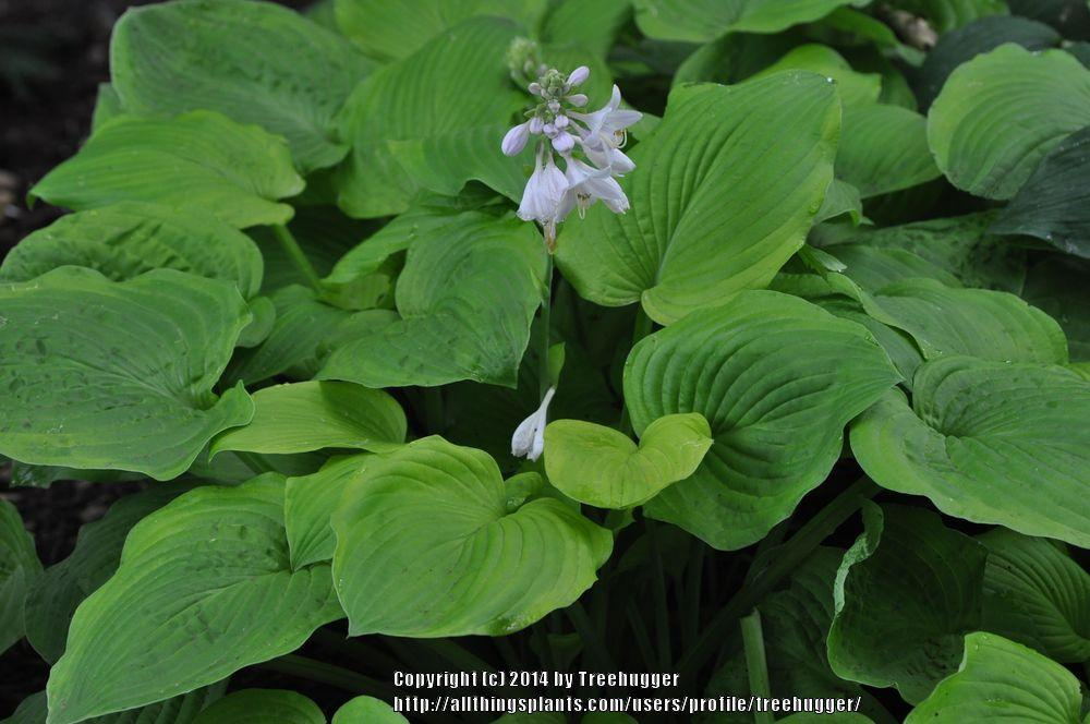 Photo of Hosta 'August Moon' uploaded by treehugger