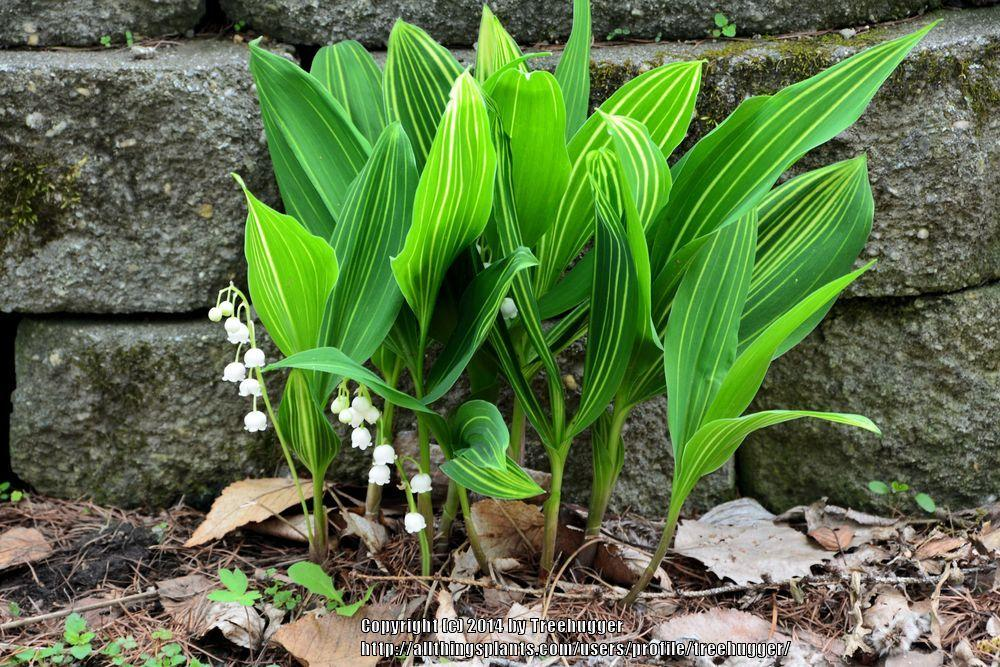 Photo of Lily of the Valley (Convallaria majalis 'Variegata') uploaded by treehugger