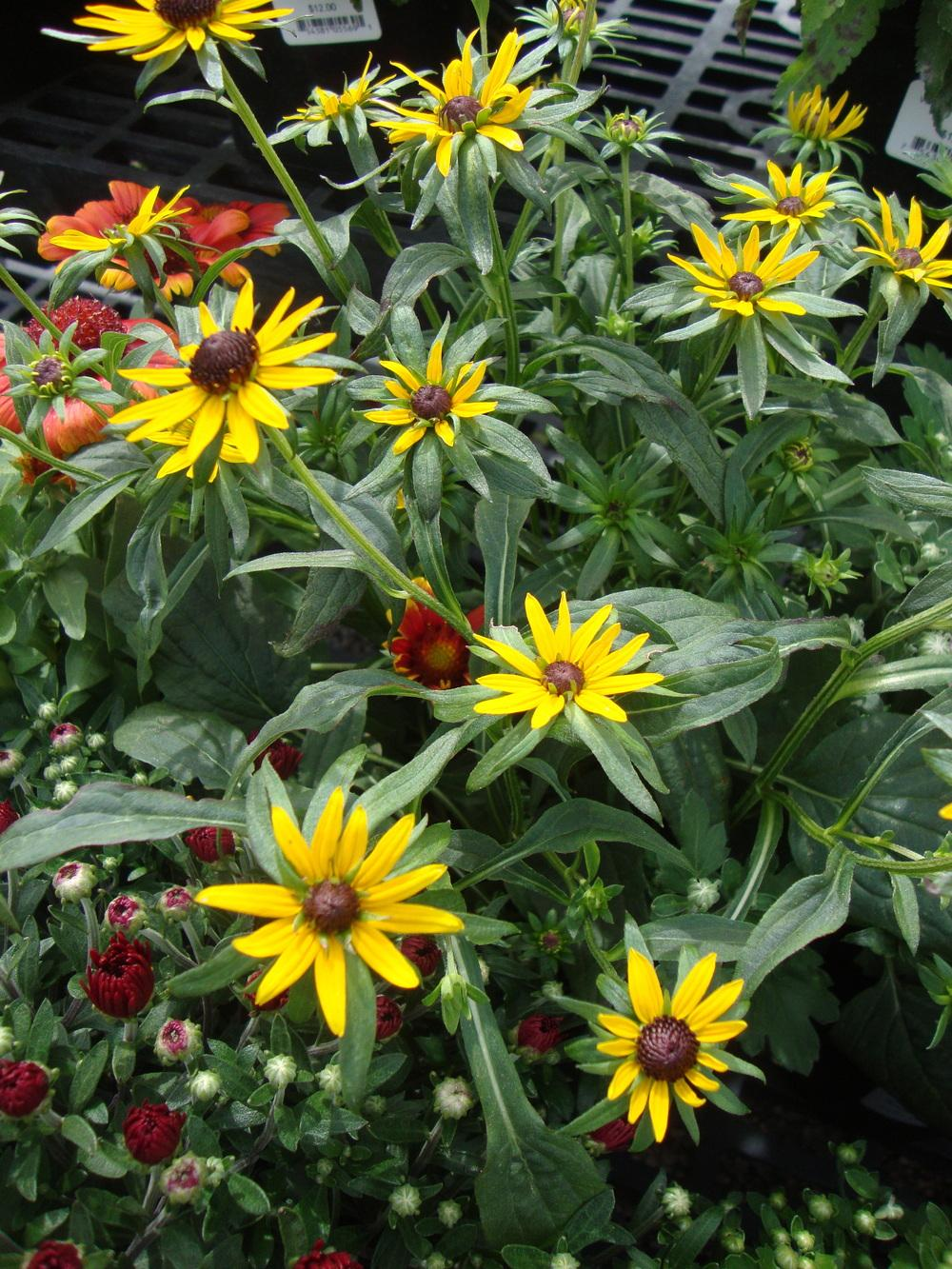 Photo of Black Eyed Susan (Rudbeckia fulgida var. sullivantii 'Little Goldstar') uploaded by Paul2032