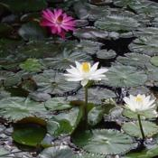 Location: Kapa'a (Kaua'i), Hawaii at Pono Kai Resort Date: 01/18/2014White & Pink Water Lilies in the Koi Fish Pond @ Pono Kai Resort