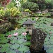 Location: Kapa'a (Kaua'i), Hawaii at Pono Kai Resort Date: 01/16/2014Pink Water Lilies in the Koi Fish Pond @ Pono Kai Resort