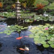 Location: Kapa'a (Kaua'i), Hawaii at Pono Kai Resort Date: 01/16/2014Hungry fish and beautiful Water Lilies in the Koi Fish Pond @ Pon