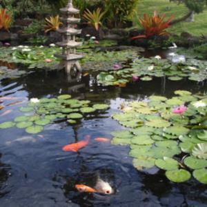 Hungry fish and beautiful Water Lilies in the Koi Fish Pond @ Pon
