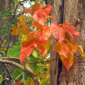 Location: In Wooded Area Of State ParkDate: October 11, 2011Leaves are attractive in autumn.