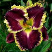 Location: Southeast IndianaDate: Sept. 1, 2014Hemerocallis 'Magical Marrakech'