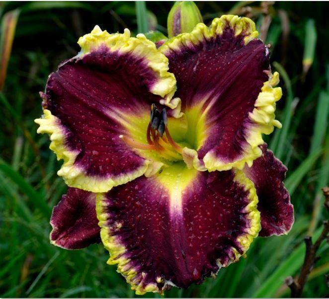 Photo of Daylily (Hemerocallis 'Magical Marrakech') uploaded by diggit