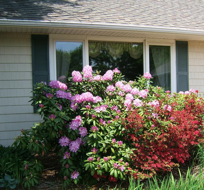 Photo of Rhododendron (Rhododendron maximum 'Roseum') uploaded by pirl