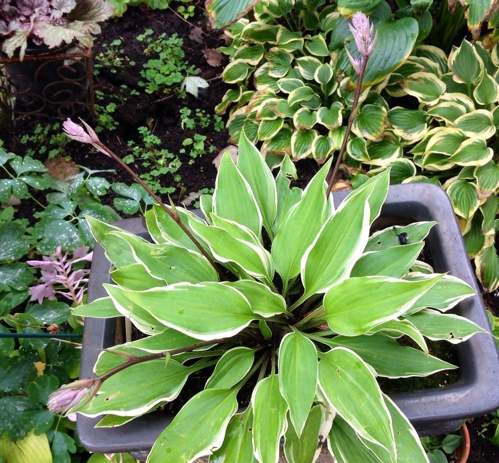 Photo of Hosta 'Fall Dazzler' uploaded by profesora
