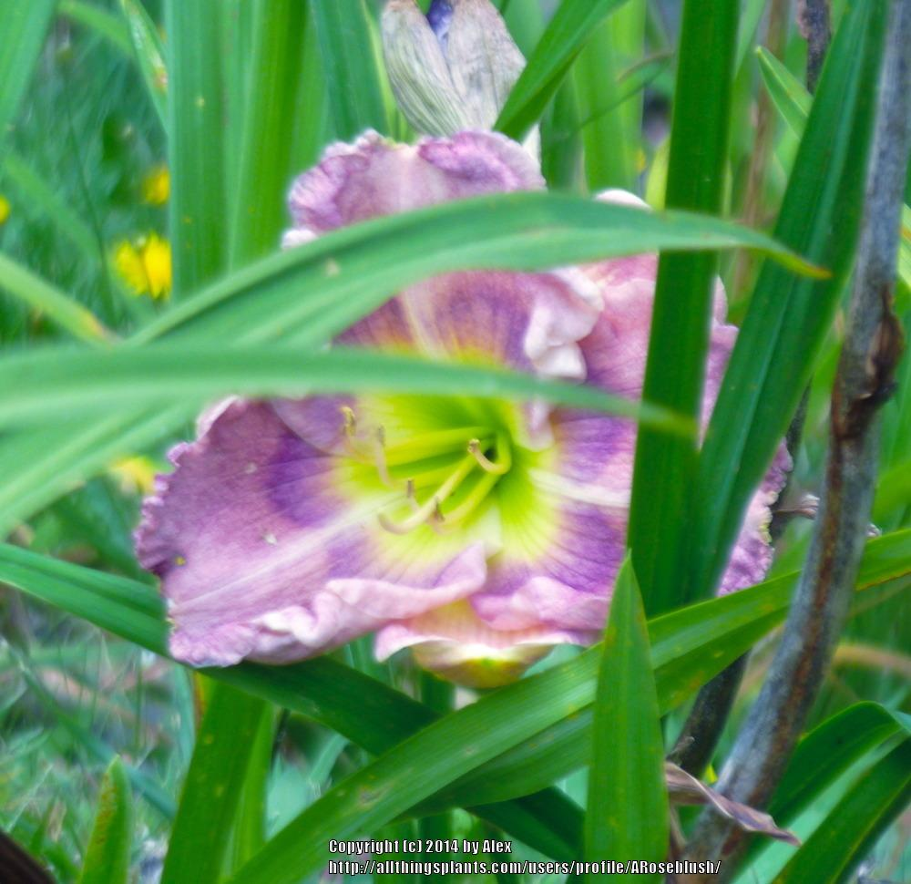 Photo of Daylily (Hemerocallis 'A Walk to Remember') uploaded by ARoseblush