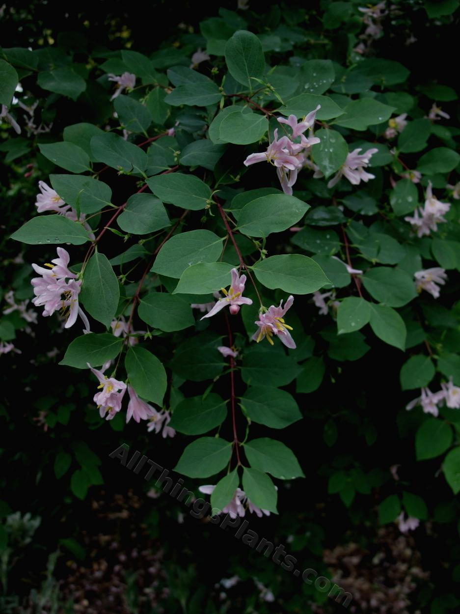 Photo of Blueleaf Honeysuckle (Lonicera korolkowii) uploaded by bootandall