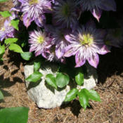 Location: Belmont gardenDate: 2012-0523No ugly legs on this clematis. Blooms go right to the e