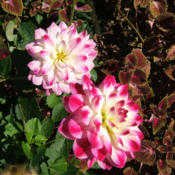 Location: Bluestone gardenDate: 2013-1018Blooms are variations of pink and white, some darker th
