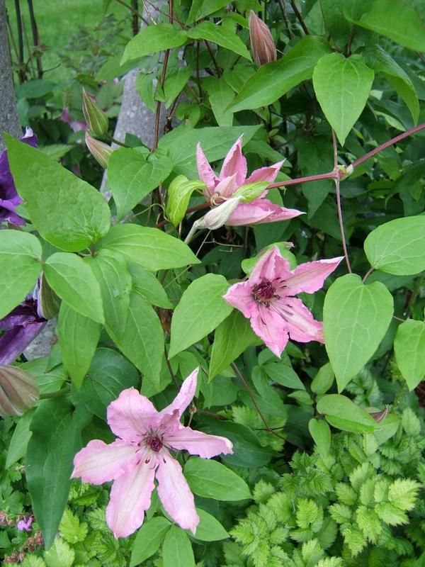 Photo of Clematis Pink Chiffon™ uploaded by pirl