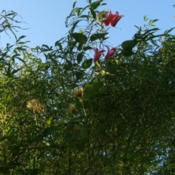 Location: Obelisk gardenDate: 2014-08-14Blooming high up in the Japanese maple.
