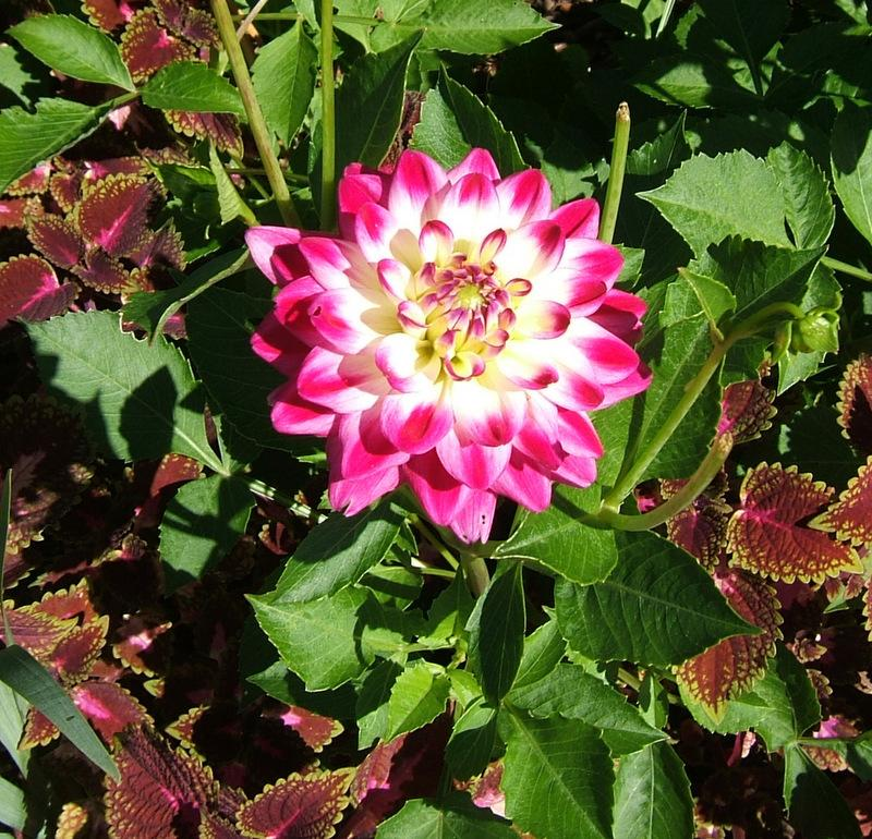 Photo of Dahlia 'Uncle Harry' uploaded by pirl