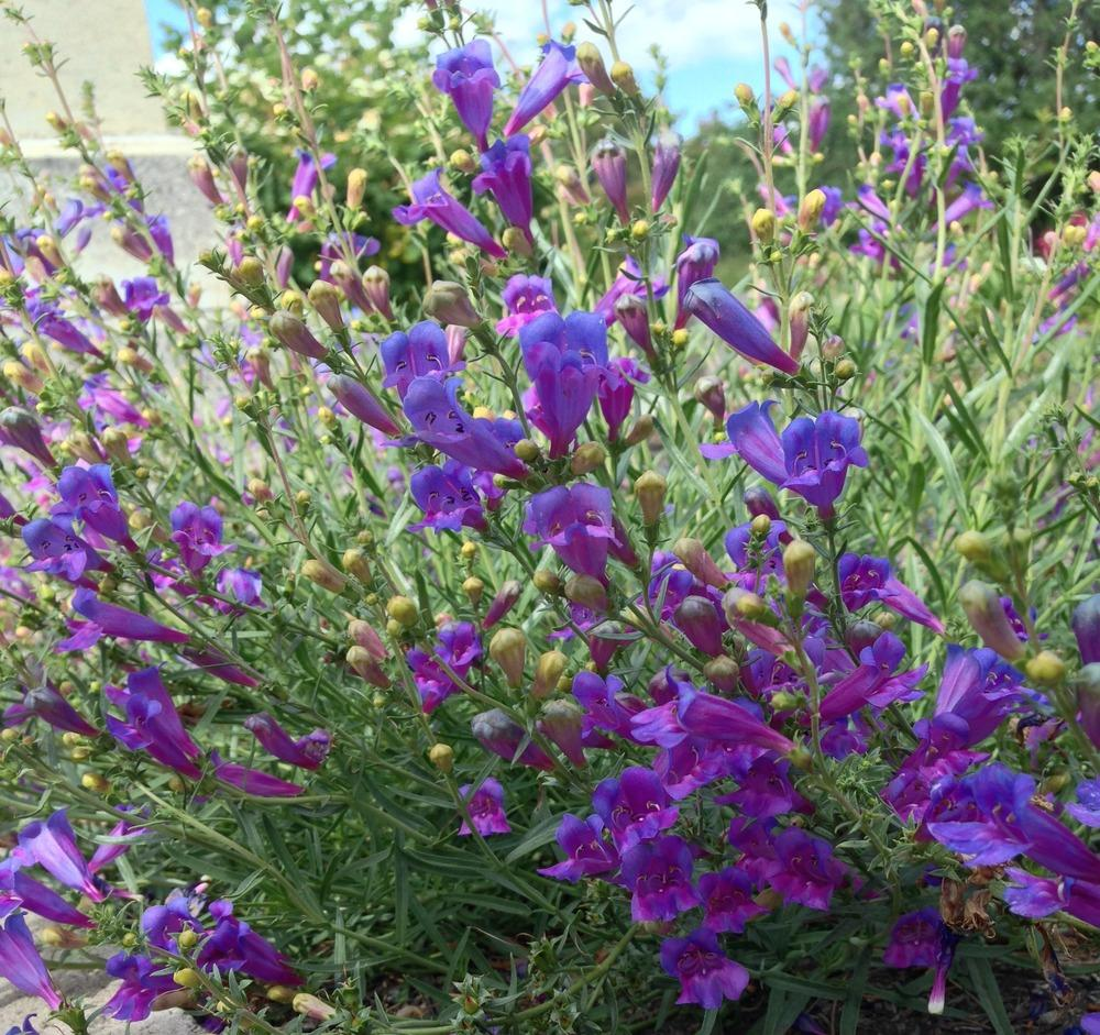 Photo of Foothill Penstemon (Penstemon heterophyllus 'Margarita BOP') uploaded by HamiltonSquare