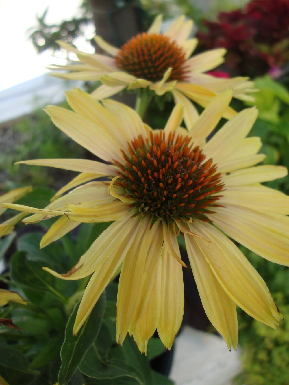 Photo of Coneflower (Echinacea 'Big Kahuna') uploaded by Paul2032