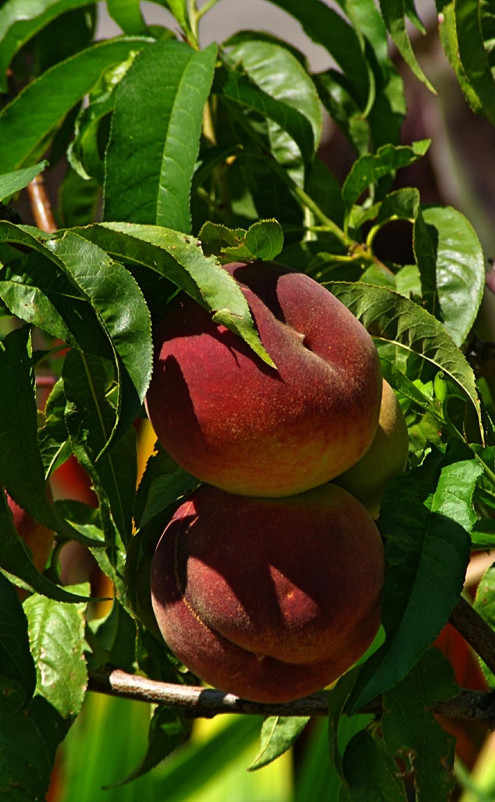 Photo of Peach (Prunus persica 'Canadian Harmony') uploaded by dirtdorphins