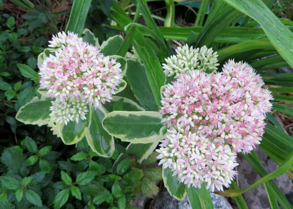 Photo of Sedum (Hylotelephium spectabile Autumn Charm™) uploaded by foraygardengirl