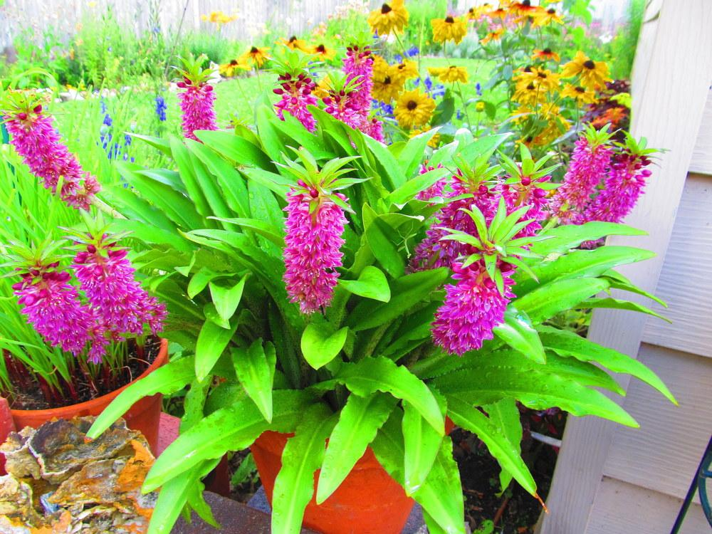 Photo of Pineapple Lily (Eucomis vandermerwei Aloha Lily® Leia) uploaded by jmorth