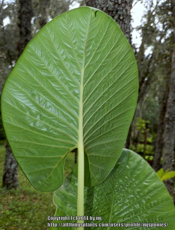 Photo of Upright Elephant Ear (Alocasia alba) uploaded by mjsponies