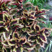 Location: Lincoln NE zone 5Date: 2014-09-03Large upright coleus with bright colors in full sun.