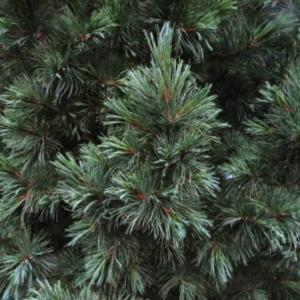 Soft needles-an evergreen that you can pet!