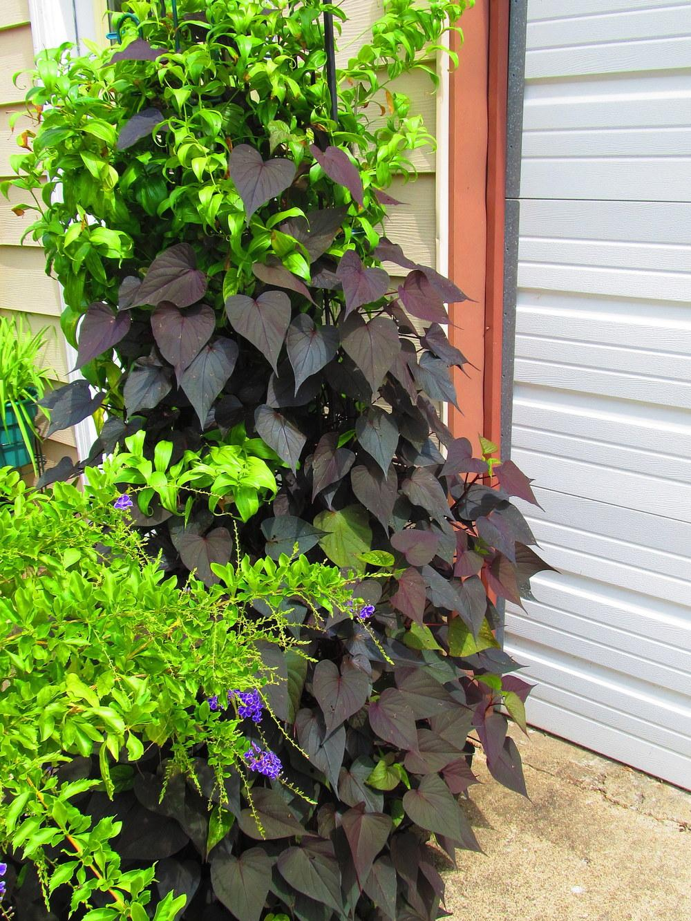 Photo of Sweet Potato Vine (Ipomoea batatas 'Sweet Caroline Sweetheart Purple') uploaded by jmorth