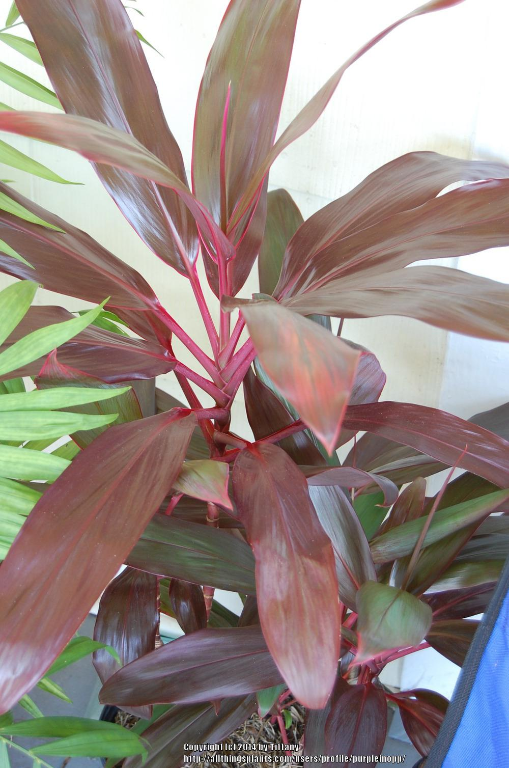 Photo of Ti Plant (Cordyline fruticosa 'Red Sister') uploaded by purpleinopp