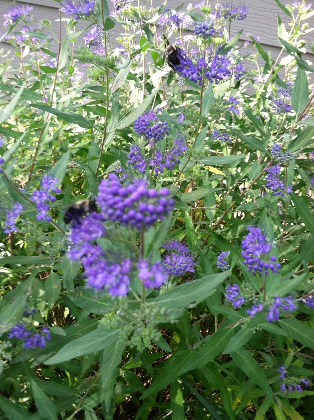 Photo of West Clandon Bluebeard (Caryopteris x clandonensis) uploaded by Anderwood
