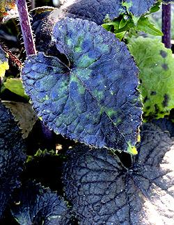 Photo of Money Plant (Lunaria annua 'Rosemary Verey') uploaded by Calif_Sue