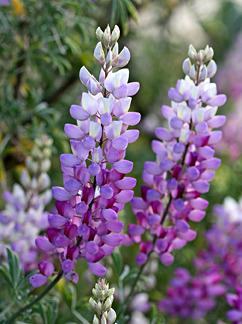Photo of Silver Lupine (Lupinus albifrons) uploaded by Calif_Sue