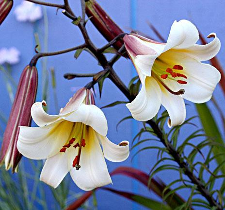Photo of Lily (Lilium regale) uploaded by Calif_Sue