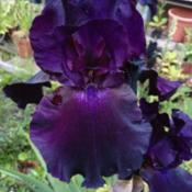 Location: The garden at SanabriaDate: 2014-05-29Beautiful very dark Iris, always a popular request by v