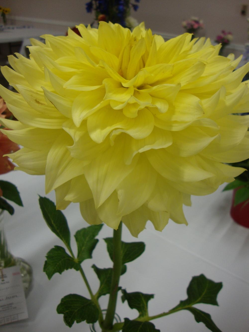 Photo of Decorative Dahlia (Dahlia 'Harvest Moonlight') uploaded by Paul2032