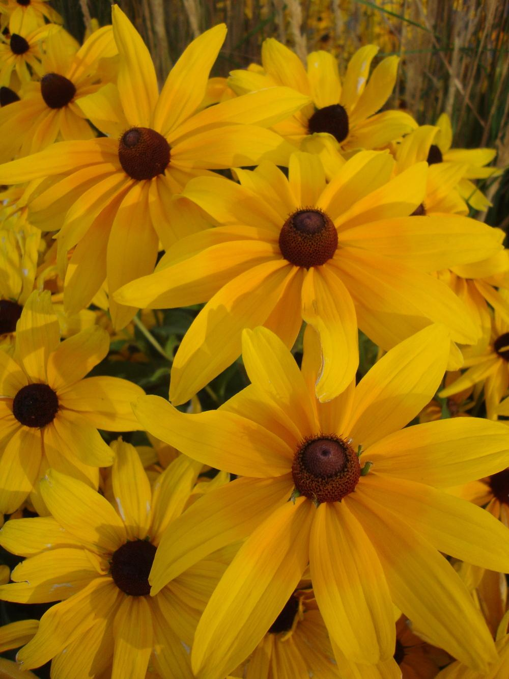 Photo of Black-Eyed Susan (Rudbeckia hirta 'Indian Summer') uploaded by Paul2032