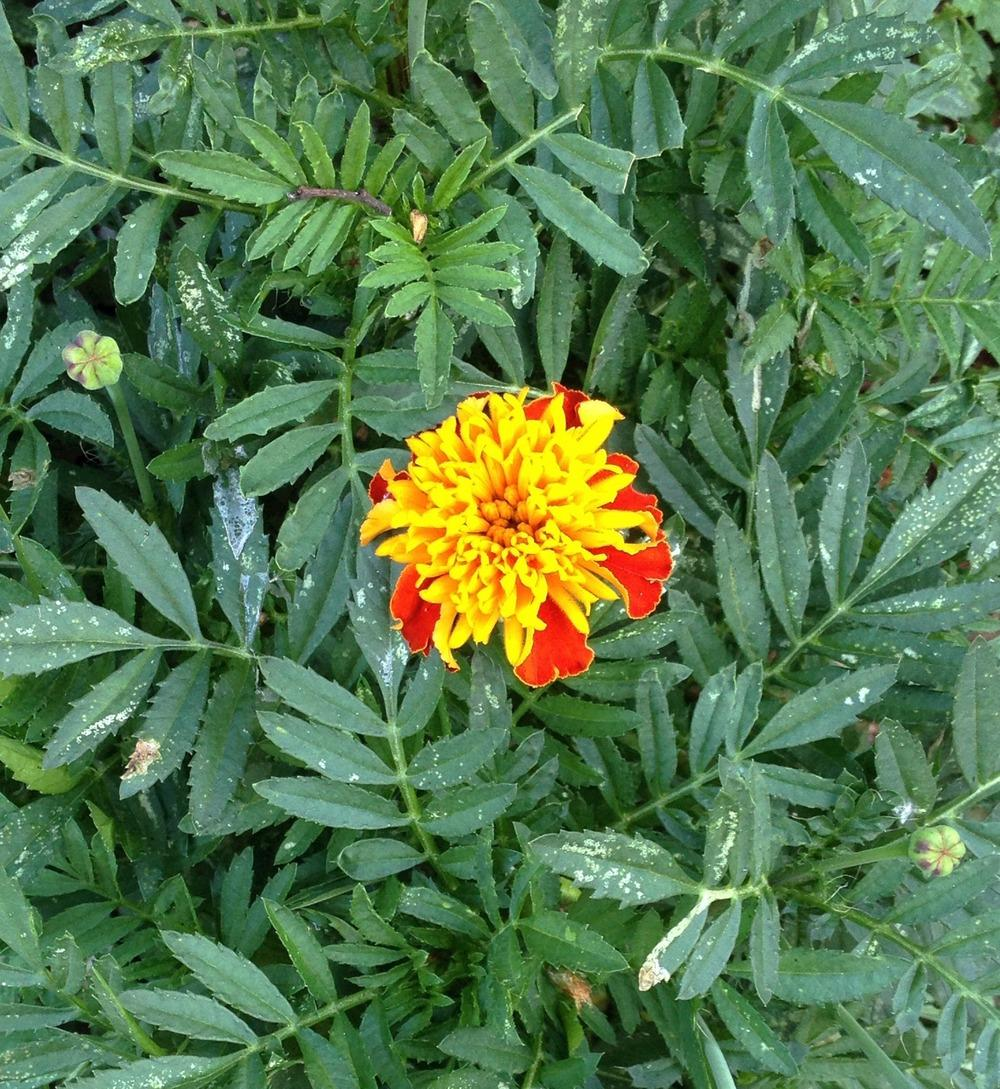Photo of French Marigold (Tagetes patula 'Tiger Eyes') uploaded by bxncbx